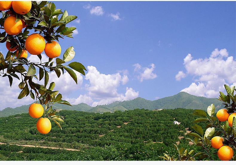 宜昌秭归脐橙销售价格