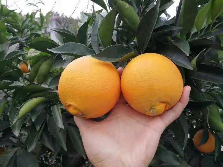 选购脐橙哪家好?当选宜昌秭归脐橙