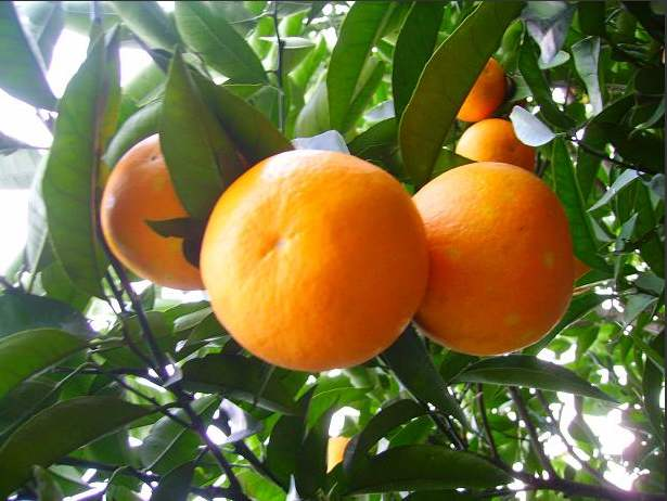 湖北秭归脐橙_新鲜水果橙子多汁夏橙