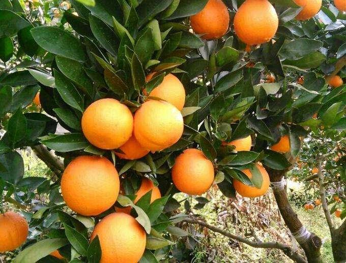 秭归脐橙现摘现发批发厂家