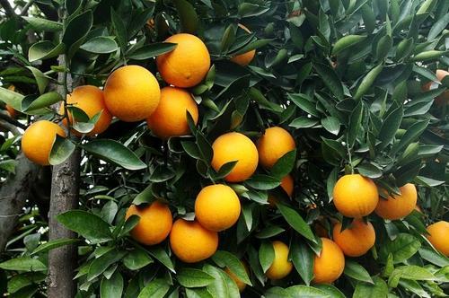 秭归脐橙销售厂家