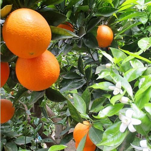 新鲜秭归脐橙销售批发厂家