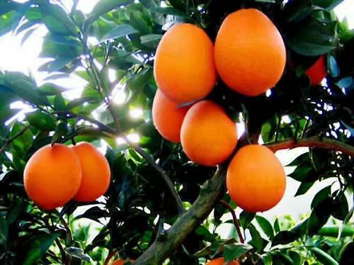 秭归脐橙销售