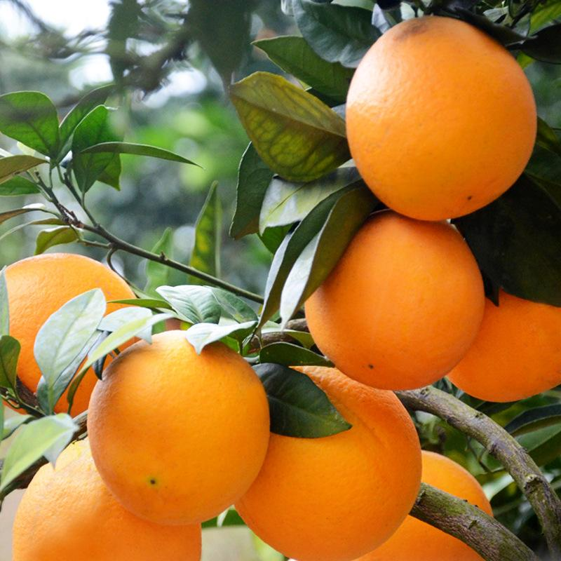 秭归脐橙新鲜水果纽荷尔橙子酸甜可口