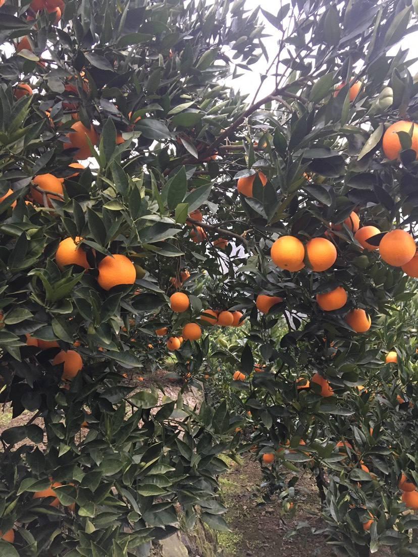荣升秭归脐橙代办打蜡厂家