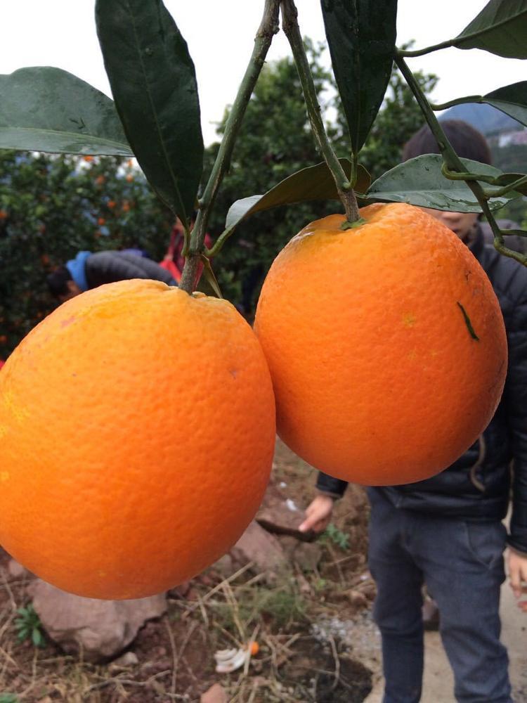 秭归脐橙非赣南橙子九月红