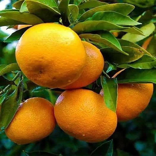 除了宜昌秭归蜜桔,深受消费者喜欢的四大水果,你还知道哪三种?