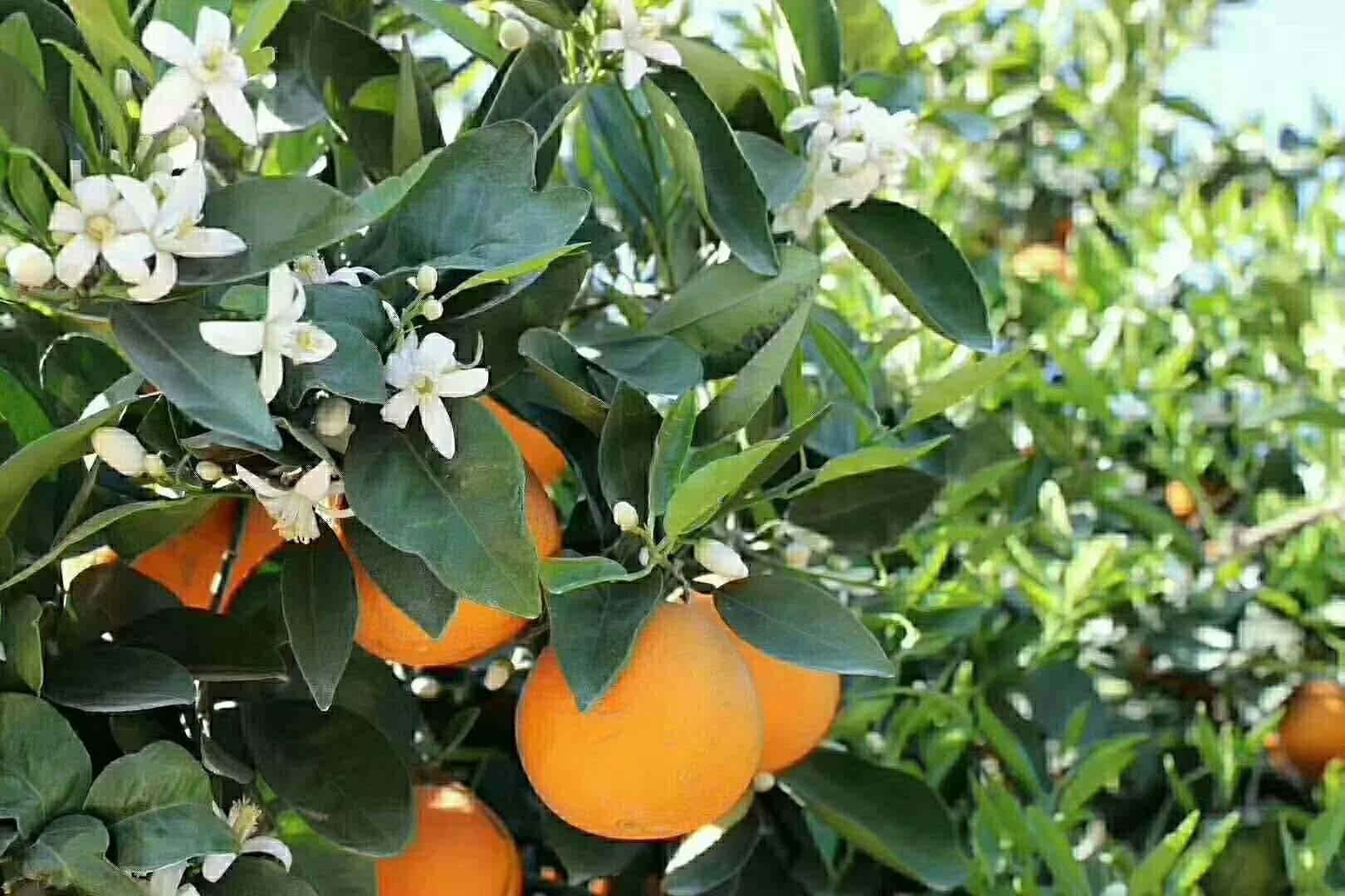为什么说一年四季都可以品尝到宜昌秭归脐橙呢?原因就在这里