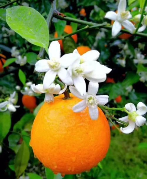 湖北宜昌秭归脐橙销售鲜果现摘现发