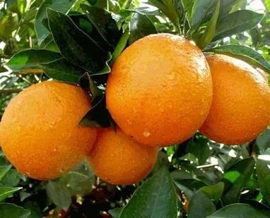 湖北秭归脐橙大量上市批发销售