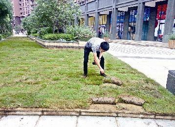 小区广场铺草坪 业主:为啥种在地砖上?