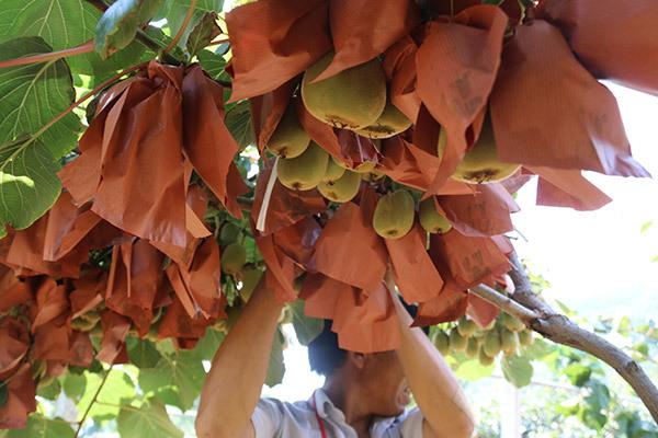 你知道为什么要给猕猴桃要套袋吗?来看陕西猕猴桃果袋机厂的文章分享