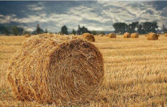 玉米秸稈怎么樣加工成飼料?秸稈都可以開發哪些項目?