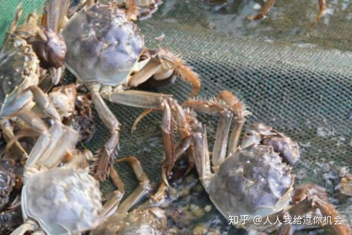 大闸蟹的养殖方法?养大闸蟹需要什么条件!
