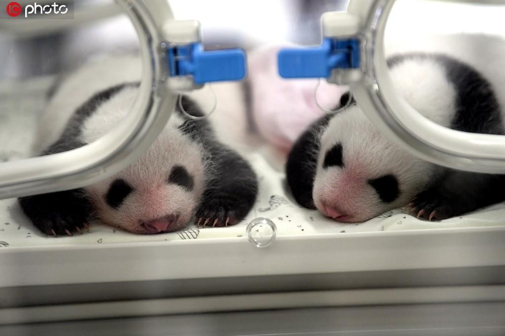 全球圈养大熊猫数量达到600只