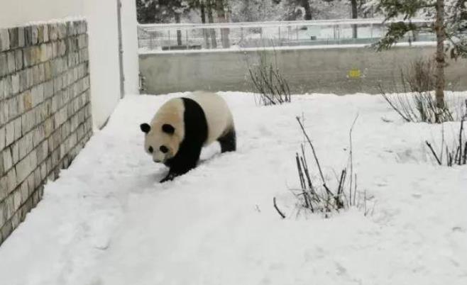呼市的大熊猫咋样玩雪