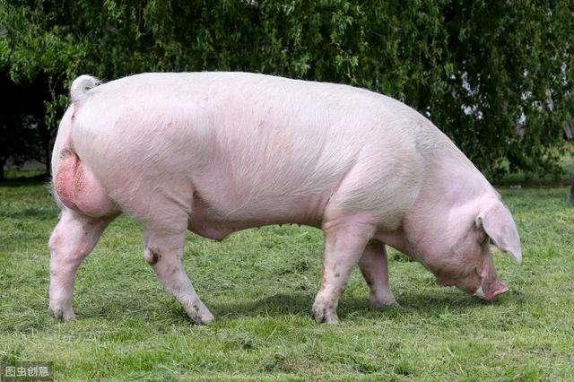 猪场常用的化学消毒剂及其对非洲猪瘟病毒的效果