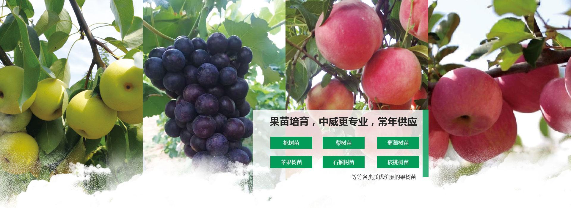 梨树苗葡萄树苗培育基地