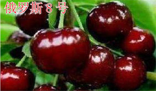 河南樱桃树苗-俄罗斯8号
