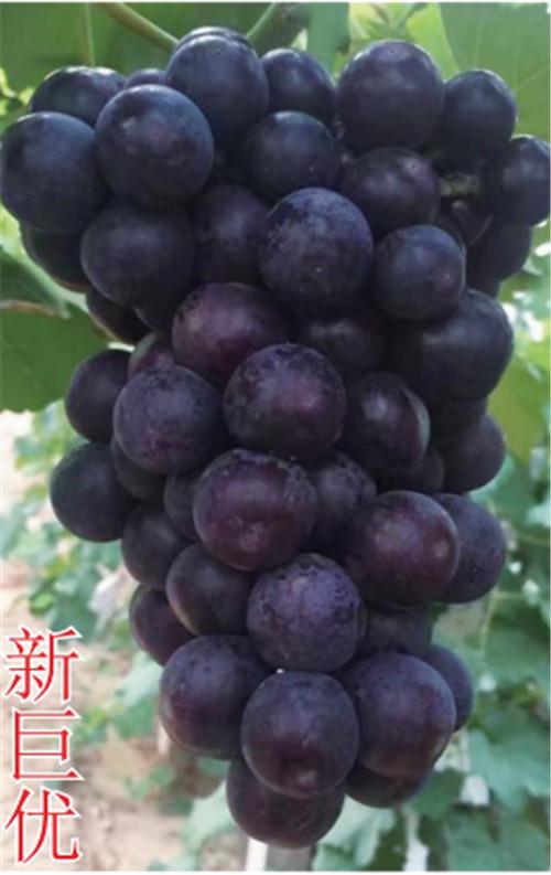 河南葡萄树苗种植
