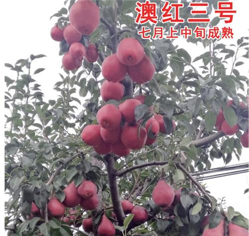 河南梨树苗-澳红三号