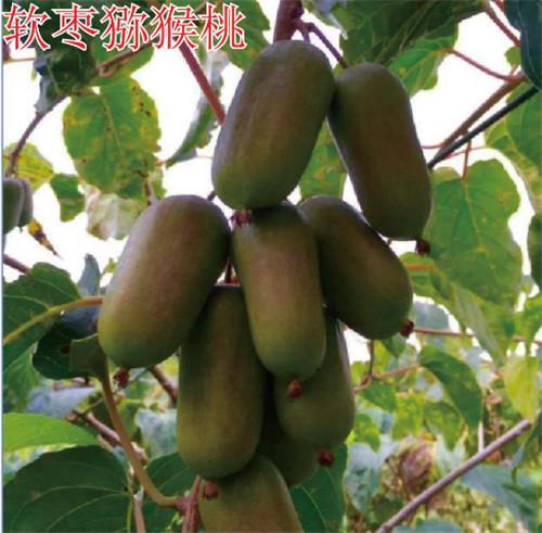 河南猕猴桃树苗