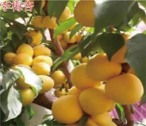 河南杏树苗-李梅杏