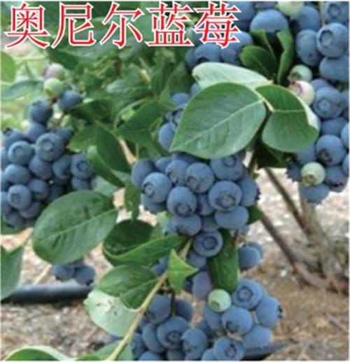 河南蓝莓树苗-奥尼尔蓝莓