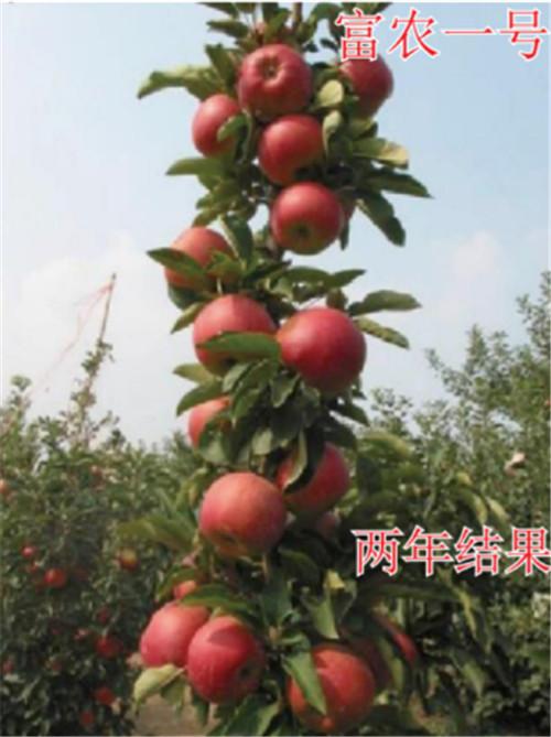 河南苹果树苗-富农一号