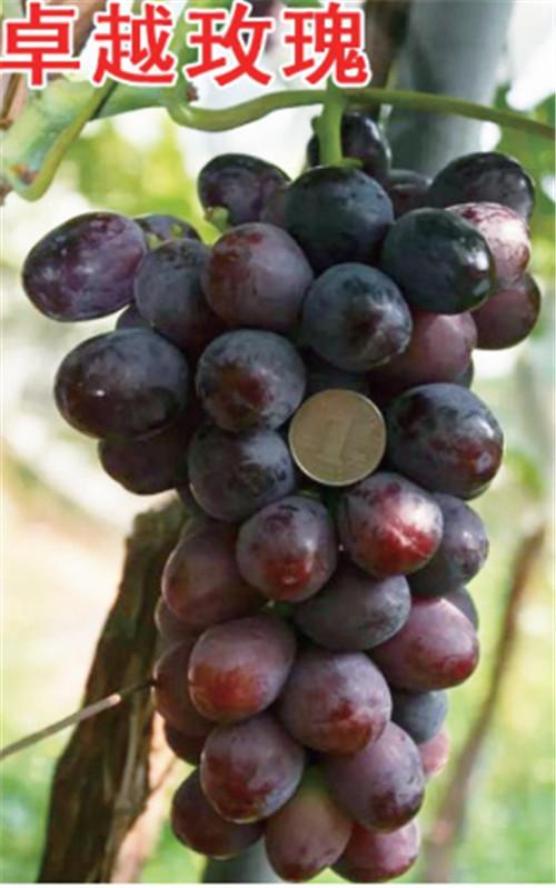 河南葡萄树苗价格