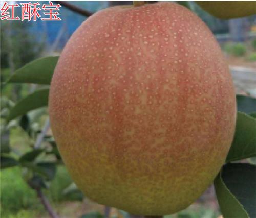 关于河南梨树苗的栽培特点都有哪些呢?如何做比较好