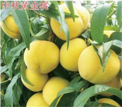 河南桃树苗-中秋黄金桃