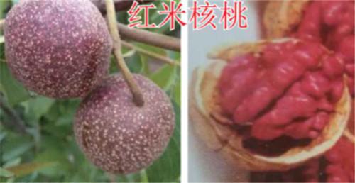 河南核桃树苗-红米核桃