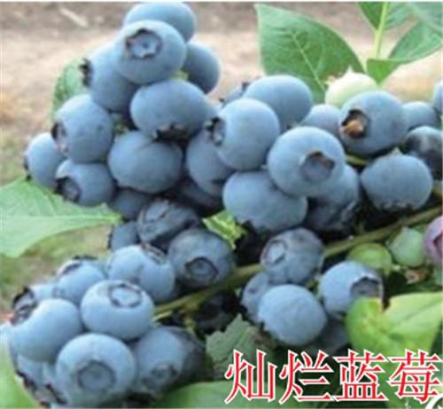 河南蓝莓树苗-灿烂蓝莓