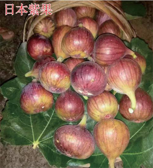 河南无花果树苗-日本紫果