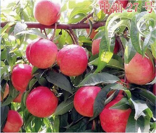 春天来了,河南桃树苗开始种植了,给大家说说大体过程