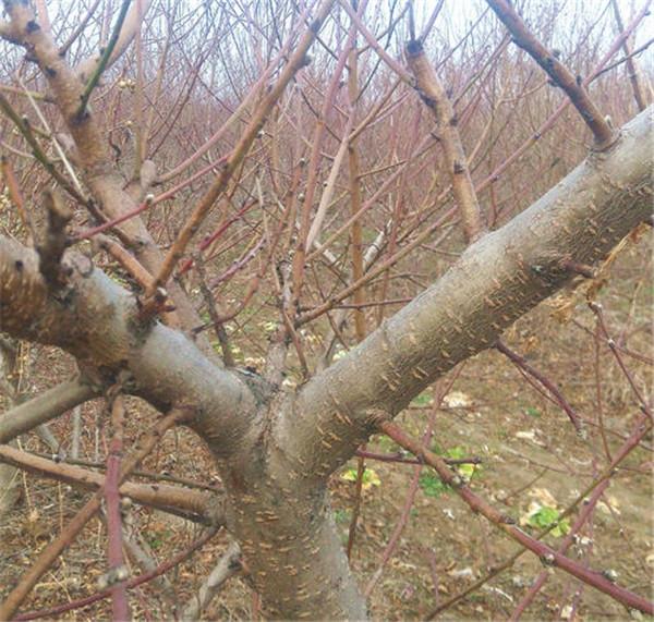 桃树冬剪应注意的问题有哪些?