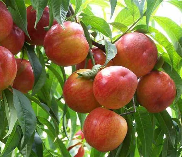 河南桃树苗种植方法!