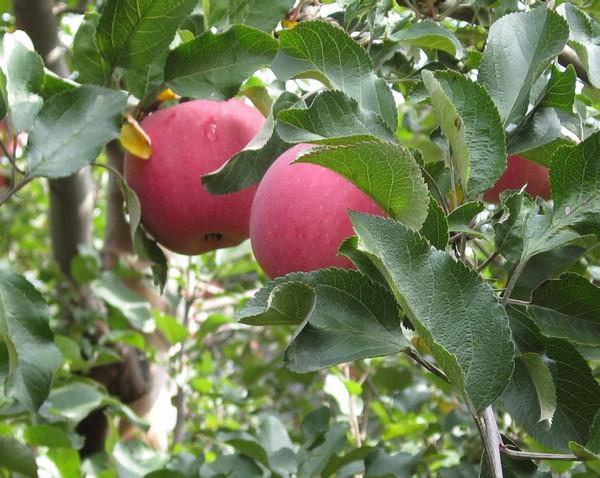 河南苹果苗