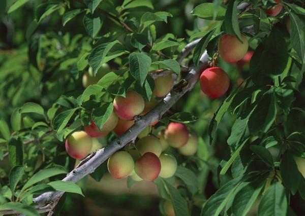 河南桃树苗在种植过程中需要注意其排水及移植问题。
