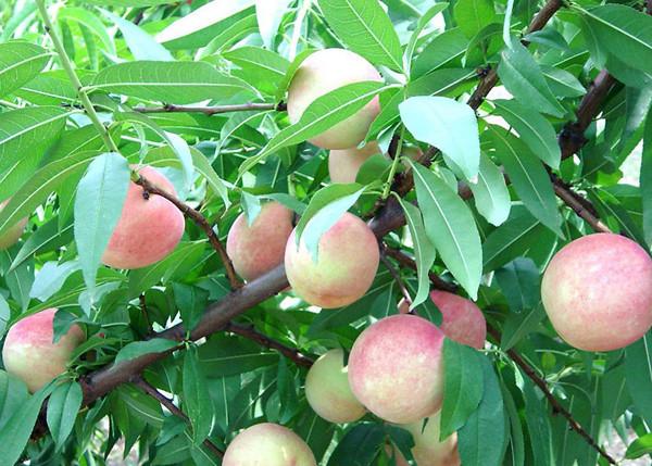 河南桃树苗在采摘后这样管理让你增产果实满满!