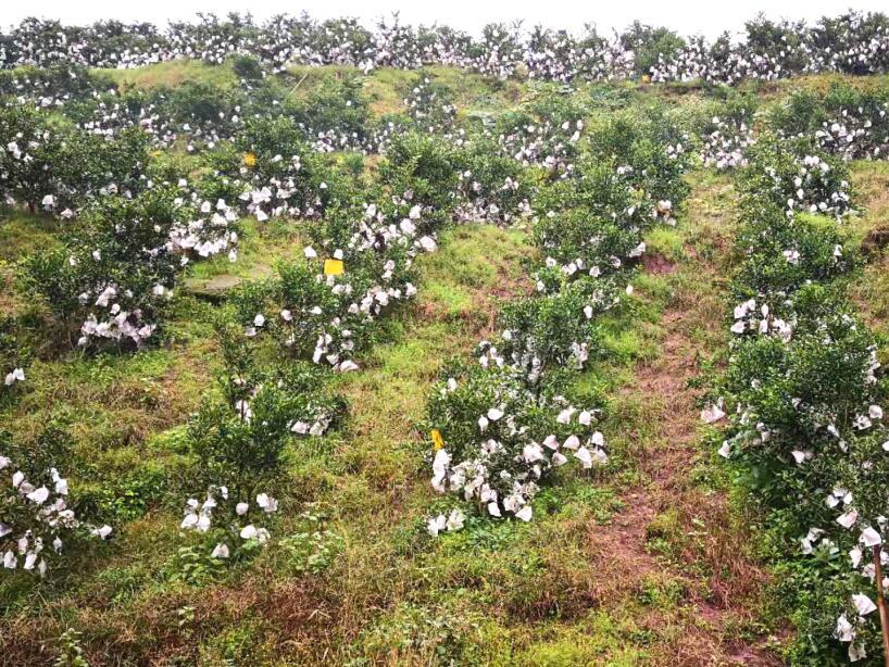 新世源柑橘基地