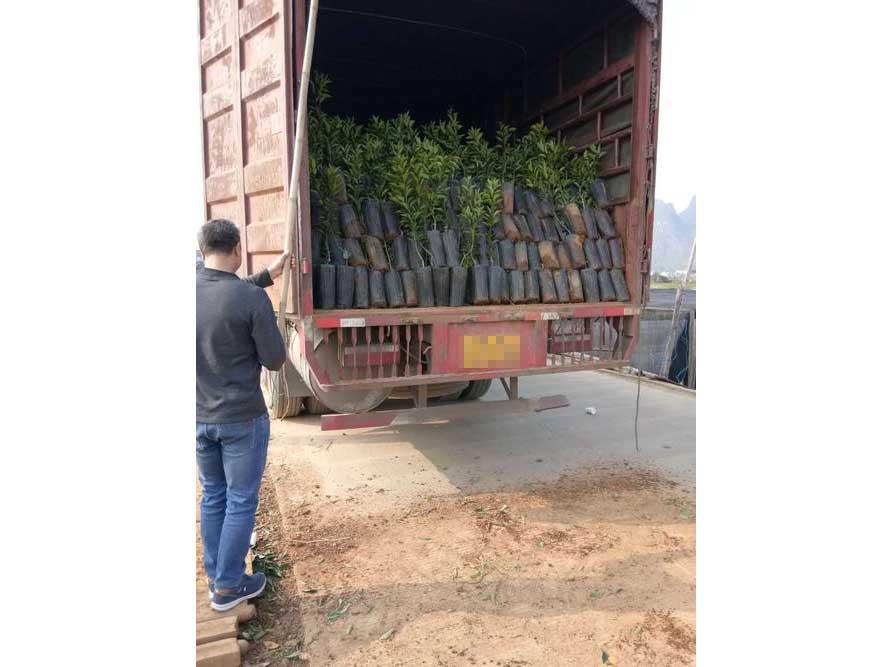 苗木装载现场