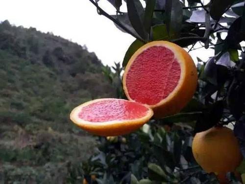 四川血橙苗厂家:红肉脐橙VS血橙有什么区别?