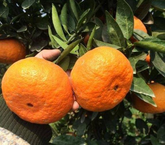 四川明日见柑桔苗种植及辨别,你知道吗?