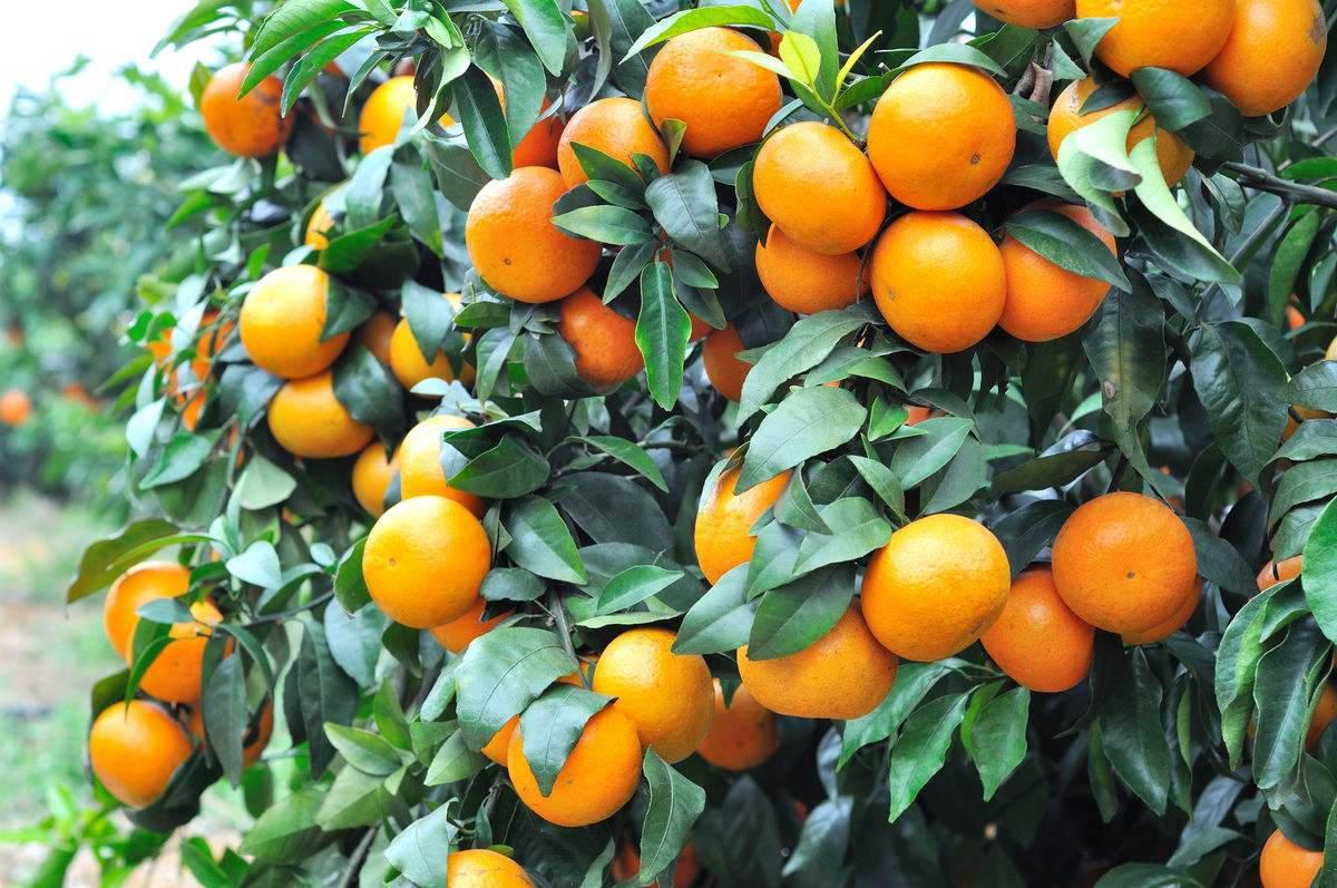 四川明日见柑橘苗锈菌农药防治技术
