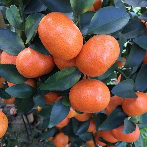 四川明日见柑橘苗是其中一种品种,可是柑橘苗的品种有哪些呢?