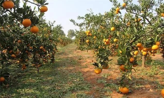 你知道血橙种植怎么栽培才可获得高产吗?