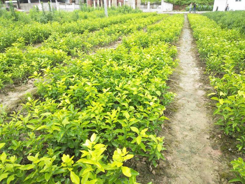 重庆柑橘苗基地来说说柑橘红蜘蛛出现原因和存在问题