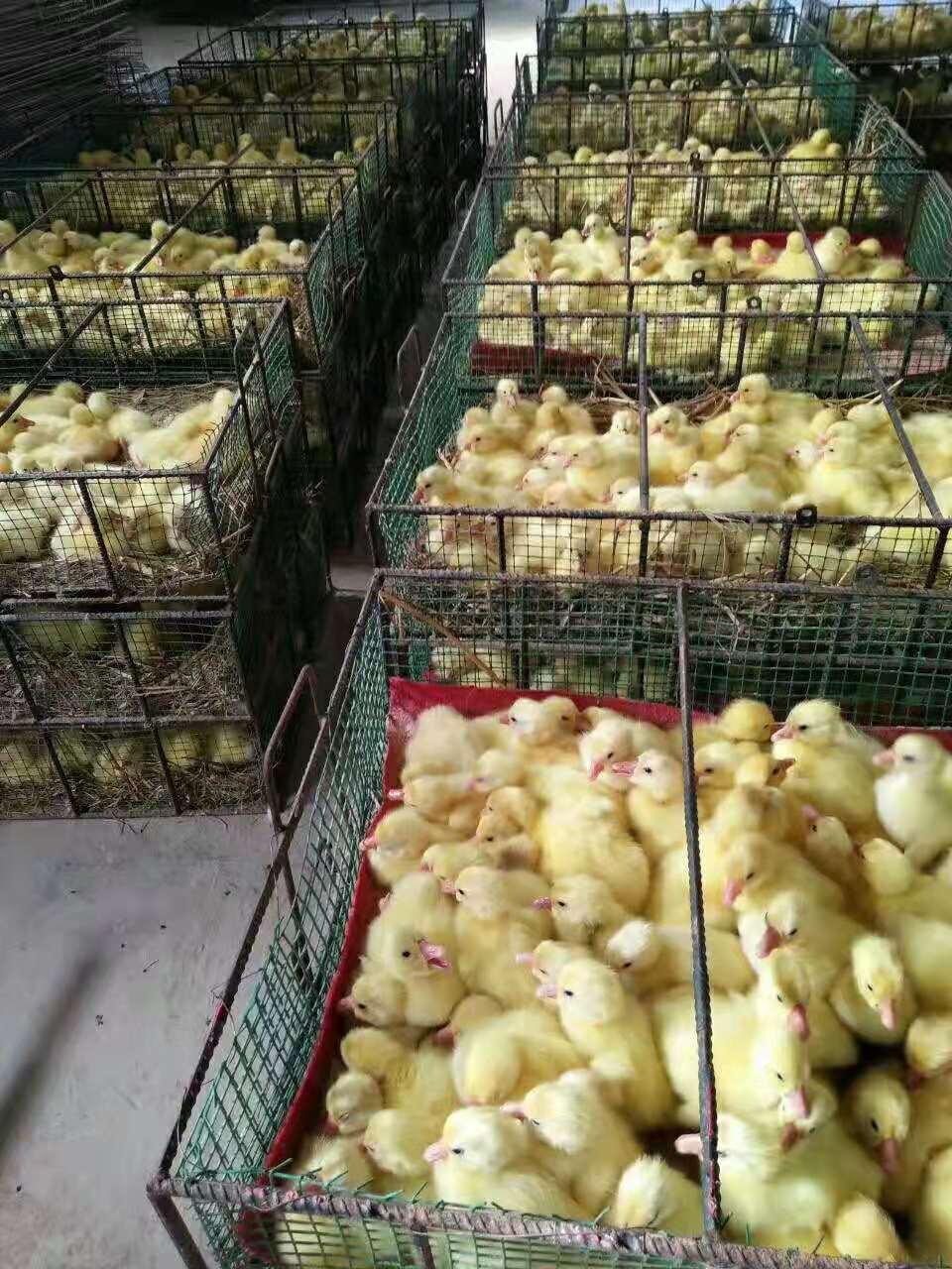 河南鹅苗孵化厂家